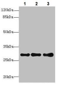 Western blot - Anti-Syntaxin 7 antibody (ab229746)
