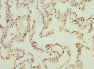 Immunohistochemistry (Formalin/PFA-fixed paraffin-embedded sections) - Anti-ELMOD1 antibody (ab229748)