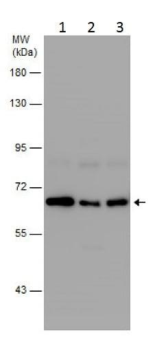 Western blot - Anti-Mint3 antibody - N-terminal (ab229778)
