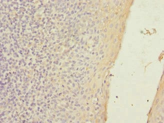 Immunohistochemistry (Formalin/PFA-fixed paraffin-embedded sections) - Anti-SLC23A2 antibody (ab229802)