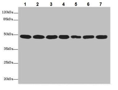 Western blot - Anti-COPS3/CSN3 antibody (ab229807)