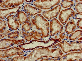 Immunohistochemistry (Formalin/PFA-fixed paraffin-embedded sections) - Anti-HAO2 antibody (ab229817)