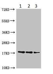 Western blot - Anti-Protein B1 antibody (ab229865)