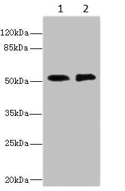 Western blot - Anti-CBF1 interacting corepressor/CIR1 antibody - N-terminal (ab229866)