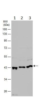 Western blot - Anti-SOX4 antibody - N-terminal (ab229870)