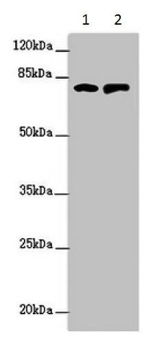 Western blot - Anti-RUFY2 antibody (ab229879)