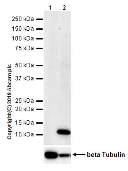 Western blot - Anti-Macrophage Inflammatory Protein 1 alpha / CCL3 antibody [EPR22529-19] (ab229900)