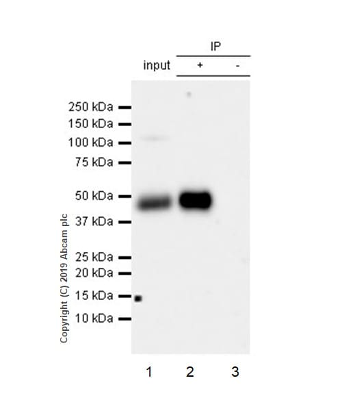 Immunoprecipitation - Anti-CD1d antibody [EPR22526-72] (ab229903)