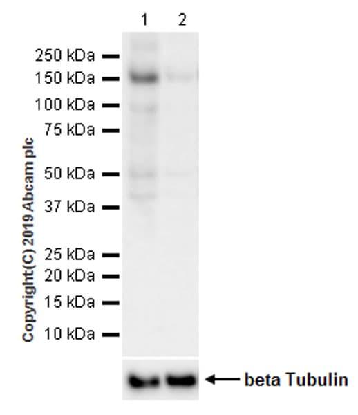 Western blot - Anti-ULK1 (phospho S757) antibody [EPR22265-9] (ab229909)