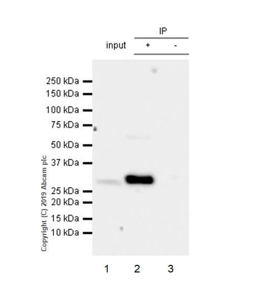Immunoprecipitation - Anti-CLIC1 antibody [EPR22907-50] (ab229917)