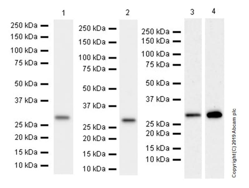 Western blot - Anti-CLIC1 antibody [EPR22907-50] (ab229917)