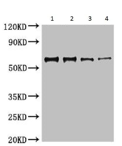 Western blot - Anti-Nucleoprotein antibody (ab229925)