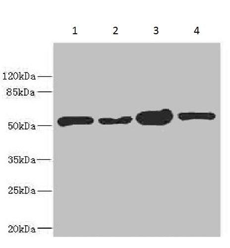 Western blot - Anti-CHN 1 antibody (ab229929)