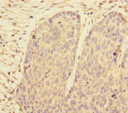 Immunohistochemistry (Formalin/PFA-fixed paraffin-embedded sections) - Anti-PRPF4 antibody - N-terminal (ab229933)