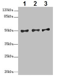 Western blot - Anti-MOCS3 antibody (ab229936)