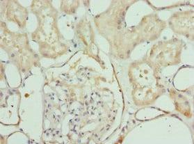 Immunohistochemistry (Formalin/PFA-fixed paraffin-embedded sections) - Anti-LELP1 antibody (ab229947)