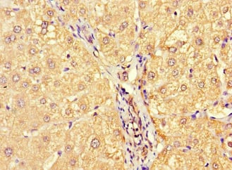 Immunohistochemistry (Formalin/PFA-fixed paraffin-embedded sections) - Anti-Allergin 1 antibody (ab229951)
