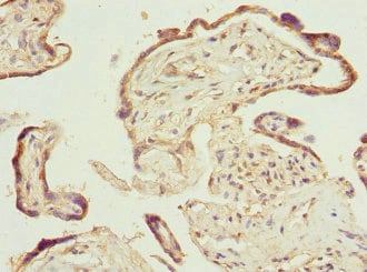 Immunohistochemistry (Formalin/PFA-fixed paraffin-embedded sections) - Anti-PTGES2/Gbf1 antibody (ab229961)