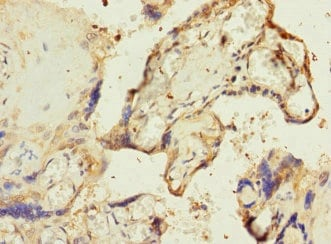 Immunohistochemistry (Formalin/PFA-fixed paraffin-embedded sections) - Anti-RPIA/PRI antibody (ab229967)