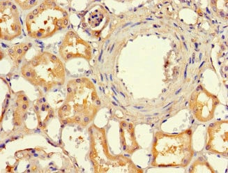 Immunohistochemistry (Formalin/PFA-fixed paraffin-embedded sections) - Anti-EFCAB7 antibody (ab229979)