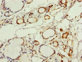 Immunohistochemistry (Formalin/PFA-fixed paraffin-embedded sections) - Anti-PGLS antibody (ab229980)