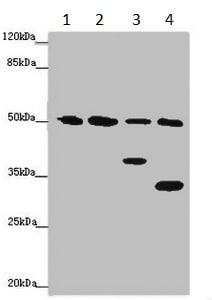 Western blot - Anti-B7-H6 antibody (ab229999)