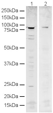 Western blot - Human POT1 peptide (ab23432)