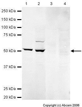 Western blot - DLK-1 peptide (ab23442)