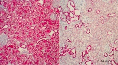 Immunohistochemistry (Formalin/PFA-fixed paraffin-embedded sections) - Anti-PPAR delta antibody (ab23673)