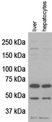 Western blot - Anti-PINK1 antibody (ab23707)
