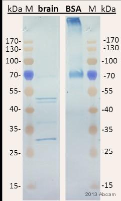 Western blot - Anti-AGE antibody (ab23722)