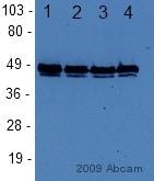 Western blot - Anti-FOXA1 antibody - ChIP Grade (ab23738)