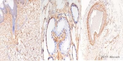 Immunohistochemistry (Formalin/PFA-fixed paraffin-embedded sections) - Anti-Elastin antibody (ab23747)