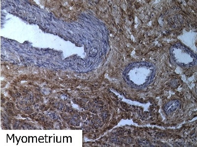 Immunohistochemistry (Frozen sections) - Anti-CD90 / Thy1 antibody [AF-9] (ab23894)