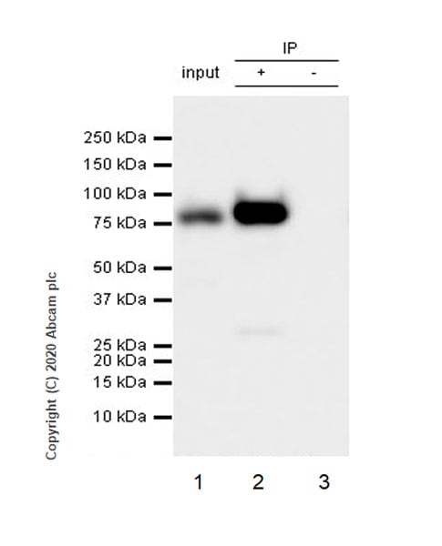 Immunoprecipitation - Anti-Cytoplasmic Dynein Intermediate chain antibody [74.1] (ab23905)