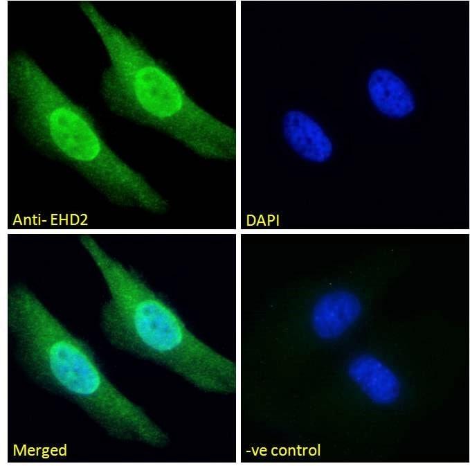Immunocytochemistry/ Immunofluorescence - Anti-EHD2 antibody (ab23935)