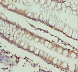 Immunohistochemistry (Formalin/PFA-fixed paraffin-embedded sections) - Anti-NDE1 antibody - N-terminal (ab230003)