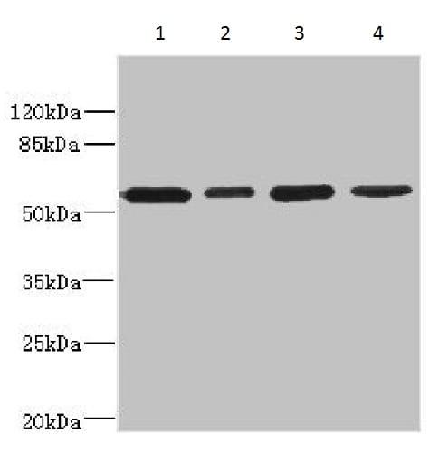 Western blot - Anti-CD276 antibody (ab230102)