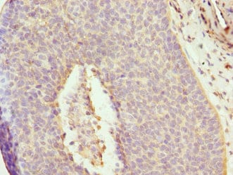 Immunohistochemistry (Formalin/PFA-fixed paraffin-embedded sections) - Anti-DAAM2 antibody (ab230106)