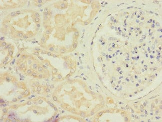 Immunohistochemistry (Formalin/PFA-fixed paraffin-embedded sections) - Anti-STRAD antibody (ab230113)
