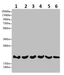 Western blot - Anti-REEP5 antibody (ab230115)