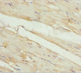 Immunohistochemistry (Formalin/PFA-fixed paraffin-embedded sections) - Anti-KBTBD3 antibody (ab230124)