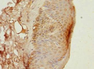 Immunohistochemistry (Formalin/PFA-fixed paraffin-embedded sections) - Anti-DAZ2 antibody (ab230127)