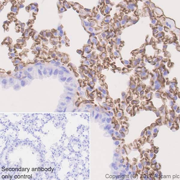 Immunohistochemistry (Formalin/PFA-fixed paraffin-embedded sections) - Anti-Thrombomodulin antibody [EPR18217-209] - BSA and Azide free (ab230152)