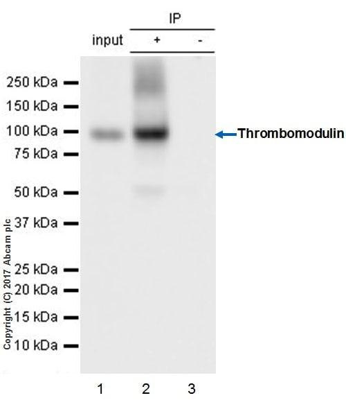 Immunoprecipitation - Anti-Thrombomodulin antibody [EPR18217-209] - BSA and Azide free (ab230152)