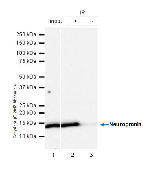Immunoprecipitation - Anti-Neurogranin antibody [EPR21152] - BSA and Azide free (ab230154)