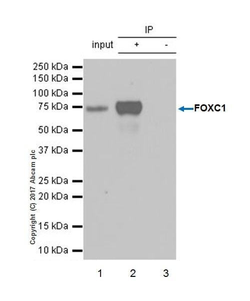 Immunoprecipitation - Anti-FOXC1 antibody [EPR20678] - BSA and Azide free (ab230157)