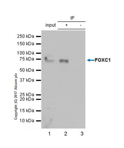 Immunoprecipitation - Anti-FOXC1 antibody [EPR20685] - BSA and Azide free (ab230159)