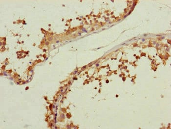 Immunohistochemistry (Formalin/PFA-fixed paraffin-embedded sections) - Anti-Centrin 3 antibody (ab230172)