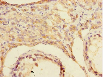 Immunohistochemistry (Formalin/PFA-fixed paraffin-embedded sections) - Anti-CSRNP-2 antibody (ab230186)